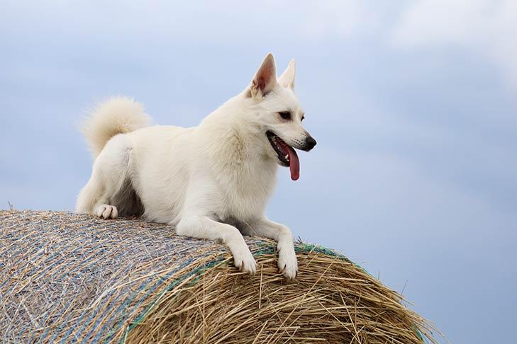 Norwegian Buhund laying atop a bale of hay.