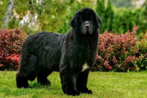Newfoundland standing in the garden.