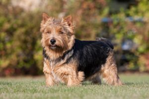 Norwich Terrier standing outdoors.
