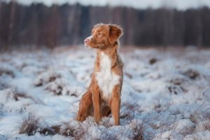 Nova Scotia Duck Tolling Retriever sitting outdoors in a snow covered field.