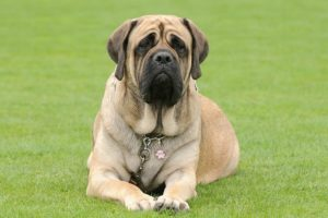 Mastiff laying down in the grass.