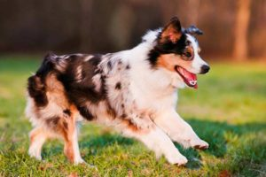 Miniature American Shepherd running in the grass.