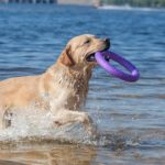 Yellow Labrador retriever playing in water with a ring toy.