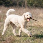 Lagotto Romagnolo fetching a stick.