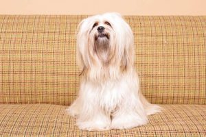 Lhasa Apso sitting on the couch.