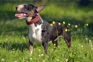 Miniature Bull Terrier standing in profile in a field.