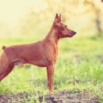 Miniature Pinscher standing stacked outdoors.