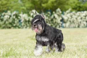 Miniature Schnauzer walking in the grass.