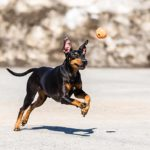 Standard Manchester Terrier playing fetch outdoors.
