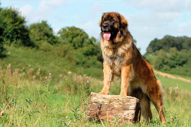 Leonberger perched on a log in a field.