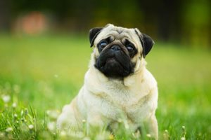 Pug sitting in the grass.