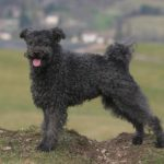 Pumi standing outdoors in the countryside.