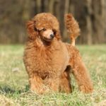 Toy Poodle standing in a field.