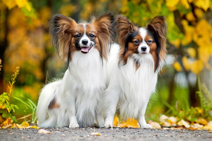 Two Papillons sitting outdoors in autumn.