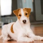 Parson Russell Terrier laying down indoors.