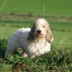 Petit Basset Griffon Vendeen standing in the countryside.