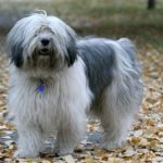 Polish Lowland Sheepdog standing outdoors in the fall.