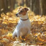 Russell Terrier sitting in autumn leaves.
