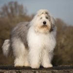Old English Sheepdog standing outdoors.