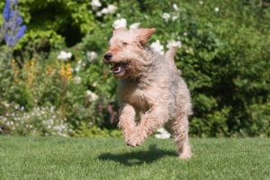 Otterhound running in the yard.
