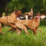 Rhodesian Ridgebacks playing in summer.