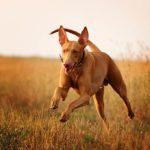 Pharaoh Hound running in a field.