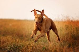 Pharaoh Hound running in a field.