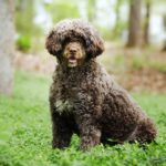 Portuguese Water Dog sitting in the forest.
