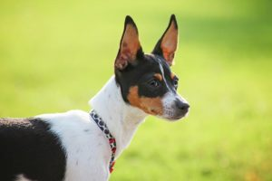 Rat Terrier head portrait in profile outdoors.
