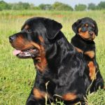 Rottweiler laying outdoors in the grass with her puppy.