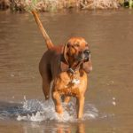 Redbone Coonhound wading through a pond.