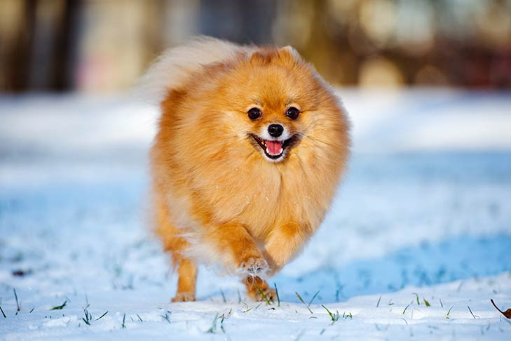 Pomeranian running in the snow.