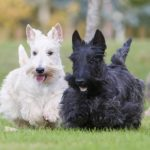 Scottish Terriers playing outdoors.
