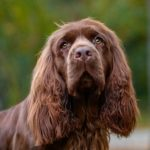 Sussex Spaniel head portrait outdoors.