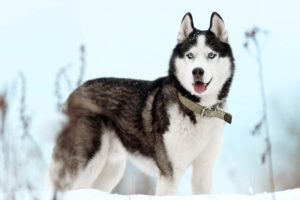 Siberian Husky standing in the snow.