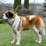Saint Bernard standing in profile in the yard.