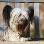 Skye Terrier laying on a park bench.