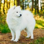 Samoyed standing in the forest.