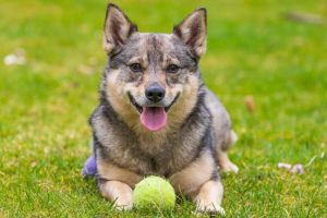 Swedish Vallhund laying outdoors with a ball.