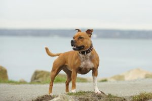 Staffordshire Bull Terrier standing outdoors.