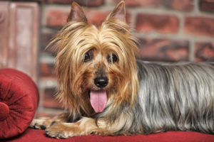 Silky Terrier laying on the couch.