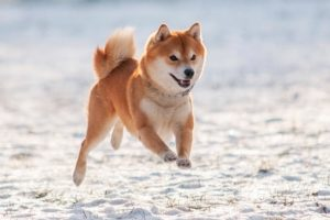 Shiba Inu running in the snow in the winter.