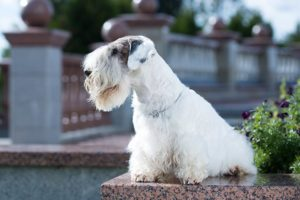 Sealyham Terrier sitting outdoors.