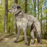 Scottish Deerhound standing in the woods.