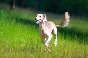 Saluki running through a grassy field.