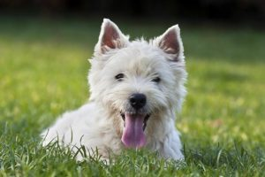 West Highland White Terrier laying in the grass.