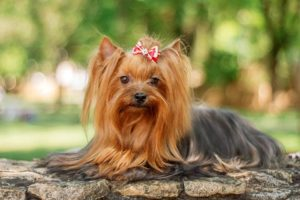 Yorkshire Terrier laying outdoors.