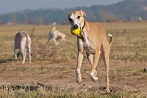 Whippet playing fetch outdoors.