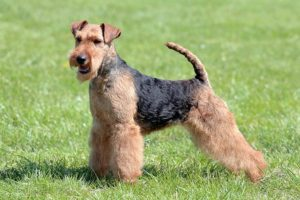 Welsh Terrier standing outdoors.