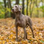 Weimaraner standing in the forest in the fall.